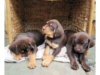 Lovely Hungarian Vizsla X Labrador Puppies
