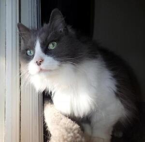 Adult Female  - Domestic Long Hair - gray and white