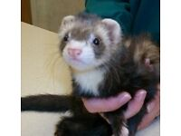 FERRET YOUNG