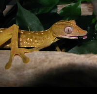 Lined Leaf Tailed Gecko (Uroplatus lineatus)!!