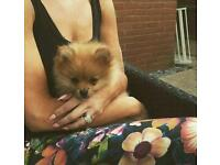 1 **female** true pomeranian puppy