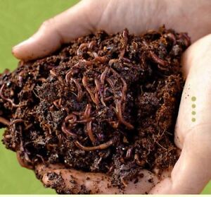 Compost worms (red wigglers)