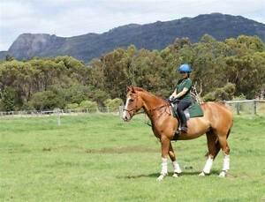 WARMBLOOD SPORT HORSE - SUPER DRESSAGE PROSPECT Porongurup Plantagenet Area Preview