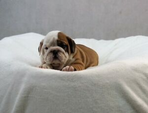 English Bulldog Puppies Kijiji In Ontario Buy Sell Save With