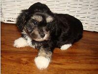 puppies for sale. (Havachon)