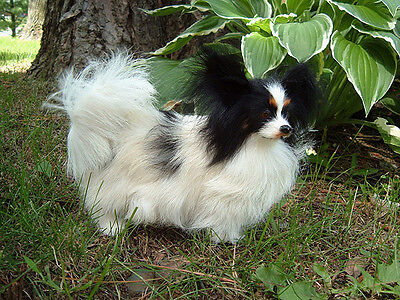 REALISTIC Small PAPILLON PUPPY DOG REPLICA FUR ANIMAL Toy 754b FREE SHIPPING USA