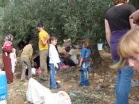International Volunteers required: Olive picking Bethlehem area, Palestine