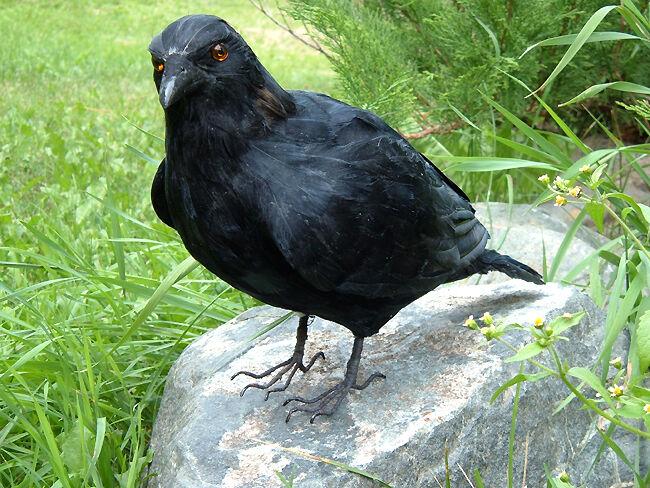 REALISTIC RAVEN REPLICA HALLOWEEN BIRD PROP FURRY ANIMAL CK162 FREE SHIPPING USA
