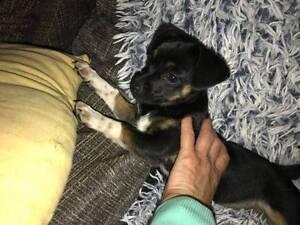 Little Bindi the Chihuahua cross seeks a loving home Midland Swan Area Preview
