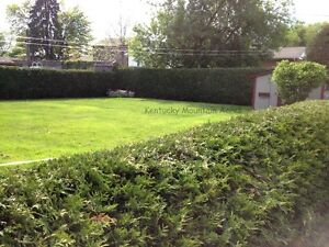 Cedar Hedge Trees For Privacy - Farm Fresh Oakville / Halton Region Toronto (GTA) image 6
