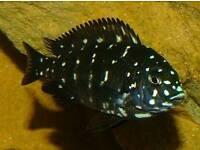 Cichlids for sale-young Tropheus Duboisi Maswa