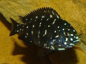 Cichlid for sale.Young Tropheus Duboisi Maswa!!!