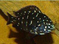 Tropheus Duboisi Maswa (young)-cichlids from Tanganika lake