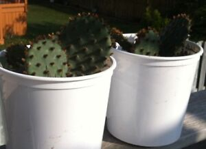 Cactus for sale, $6 ;