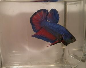 Adopt local other pets in timmins pets kijiji classifieds for Giant betta fish for sale