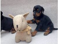 KC REG dobermann puppies