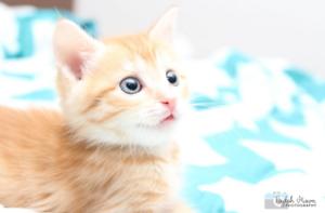 Saphire rescue kitten NK2813 VET WORK INCLUDED