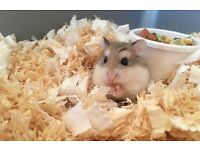 Female Robo hamster