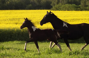 STEAL OF A DEAL Flashy Pinto Sport Horse Filly Strathcona County Edmonton Area image 3