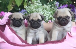 REGISTERED PUG PUPPIES (TWO BOYS LEFT)