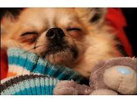Chihuahua needing a new home.