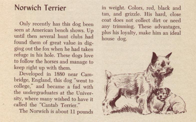 Norwich Terrier - Vintage Dog Art Print -1954 M. Dennis