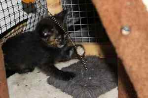 Monkey rescue KITTEN available for adoption VET WORK INCLUDED West Swan Swan Area Preview