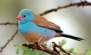 Wanted: Female Blue Capped waxbill