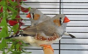 2 Male Zebra Finches