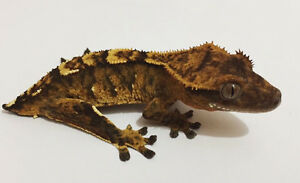 15g Brindle Crested Gecko