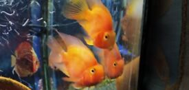 Tropical Parrot Fish and Flower Horn Fish