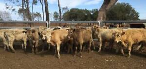 CATTLE FOR SALE: 16 CHAROLAIS STEERS - LOT 2