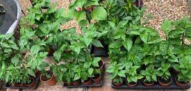 🌶 Serrano (Mexican) & Serenade (Peruvian) chilli plants