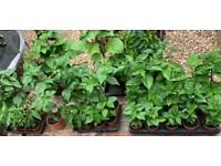 Chilli plant for Sale in England | Garden Plants & Flowers