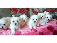 ***SMALL TYPE MALTESE *** FOR SALE