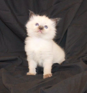 Ragdoll kittens mink, sepia, traditional registered Lithgow Lithgow Area Preview