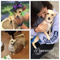 "Young Female Dog - Corgi-Chihuahua: ""Peppermint"""