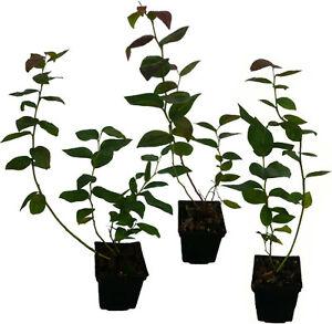 6 x Heidelbeere Pflanzen SET Blaubeere - lange Erntezeit von Juni bis Oktober -