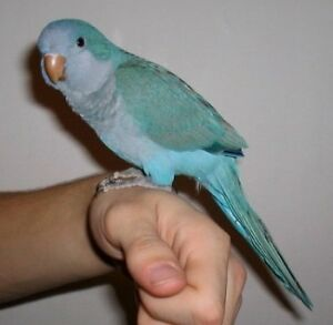 Hand raised super friendly BLUE/TURQUOISE CONURE BABIES