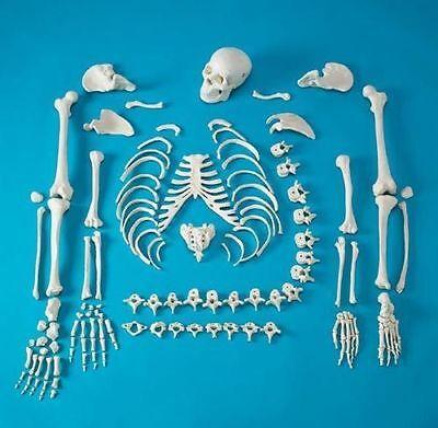 Full Disarticulated Human Skeleton Life Size Anatomical Anatomy Model Wskull