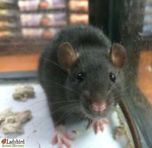 Young Female  - Rat