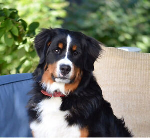 Looking for Bernese Mountain Dog!