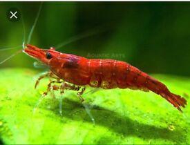 Tropical Shrimp