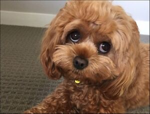 Looking for a brown Cavoodle Stonehaven Golden Plains Preview