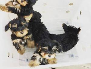 Adorable Yorkshire Terrier Puppies for sale (Yorkie)!