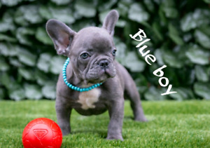 Blue and black french bulldog puppies