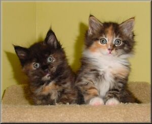 Looking for long haired tortie or calico kitten