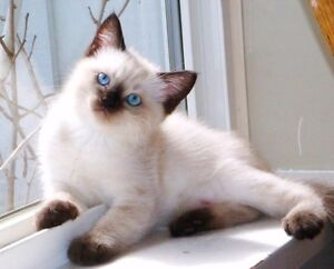 RAGDOLL/SIAMESE MALE KITTEN