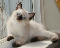 Siamese kittens are ready for adoption-one boy left