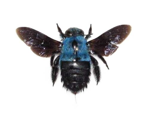 REAL BLUE CARPENTER BEE BUMBLEBEE XYLOCOPA CAERULEA MOUNTED PACKAGED INDONESIA